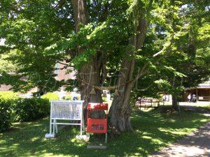 ウンクル・セトナの桂の木
