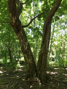 巨木コースの木々-1