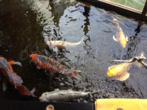 花園温泉の錦鯉